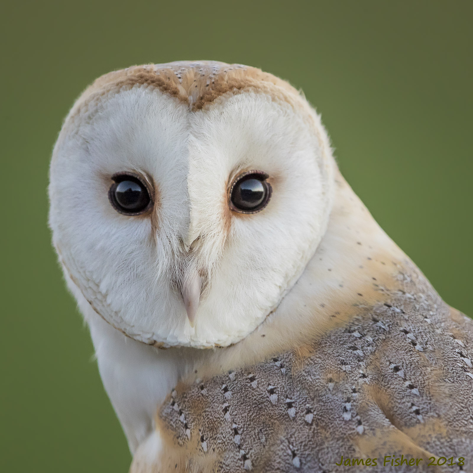 Jfwildlife Co Uk Barn Owl